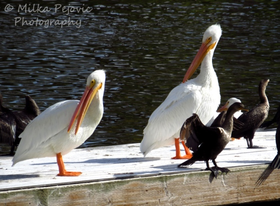 White pelicans in San Diego
