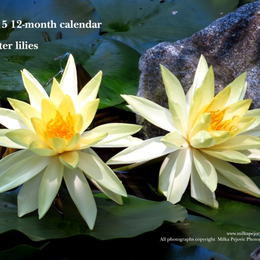2015 water lily calendar - front cover