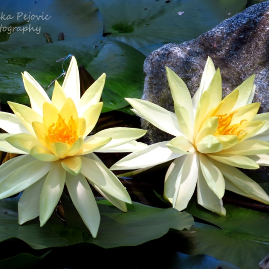 January 2015 - yellow water lilies