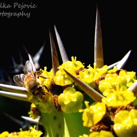 January 2015 - Bee on cactus with yellow flowers