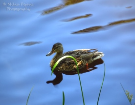 January 2015 - mallard duck swimming in still water pond