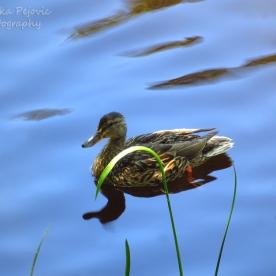 January 2015 - mallard duck swimming in still water pond