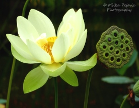 July 2015 - white lotus flower and lotus seed pod