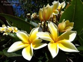 July - plumeria blooms