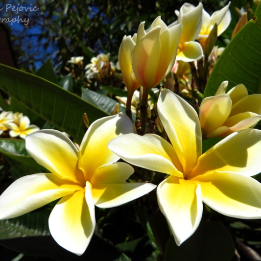 July - plumeria blooms