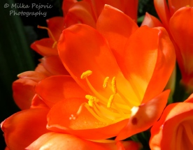 July 2015 - orange bush lily (clivia miniata)