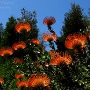 July - orange protea pin cushion group
