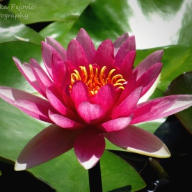 June 2015 - bright pink water lily