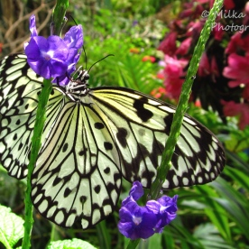 June - paper kite butterfly