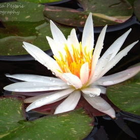June 2015 - raindrops on white water lily