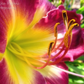 June 2015 - purple and yellow lily