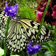 June - butterfly
