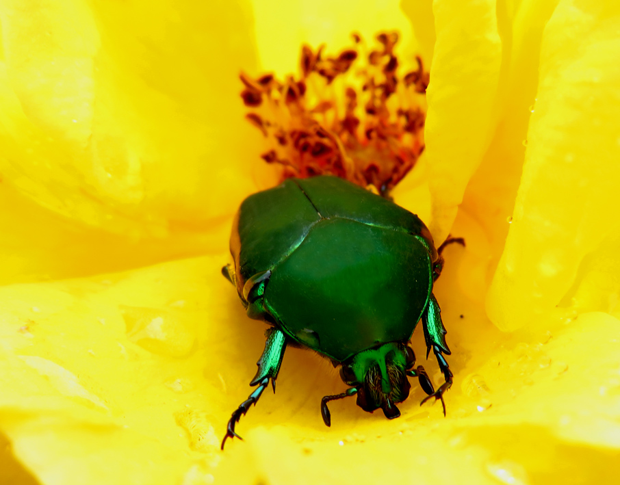A Word A Week Challenge: Pose - green Junebug beetle
