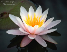 March 2015 - light pink water lily