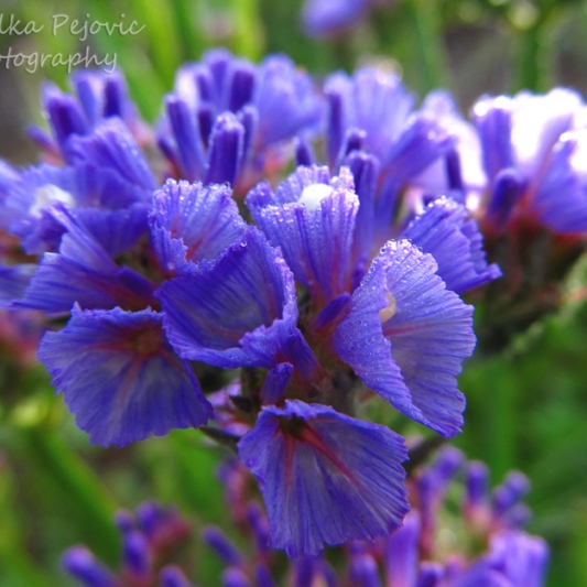 March 2015 - purple wildflowers