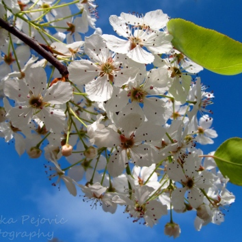March - pear blossoms