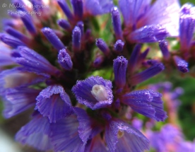 March 2015 - water droplets on purple wildflowers