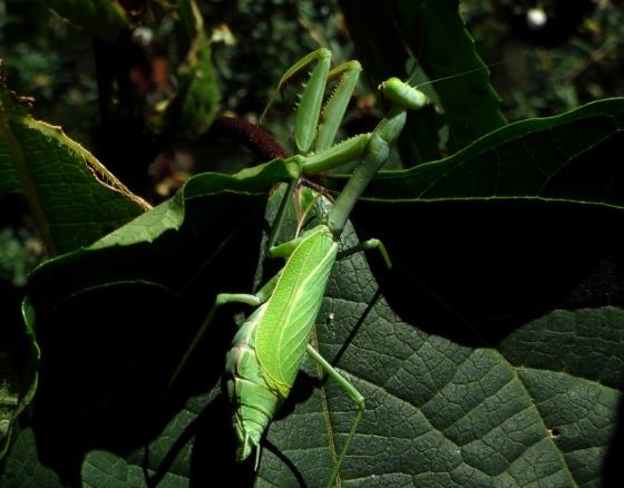 A Word A Week Challenge: Pose - praying mantis