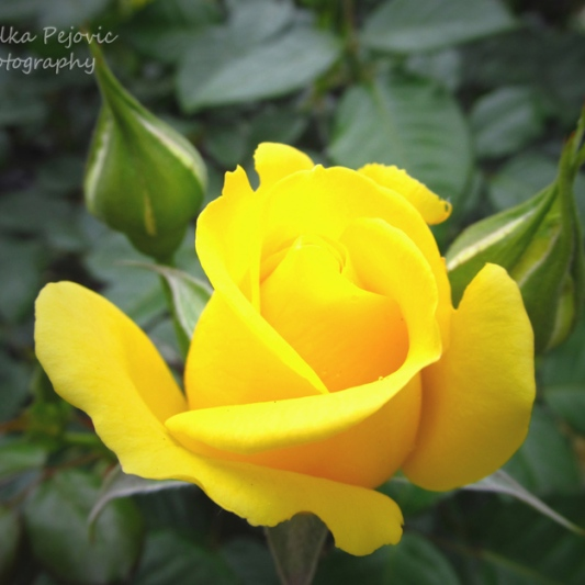 May - yellow rose