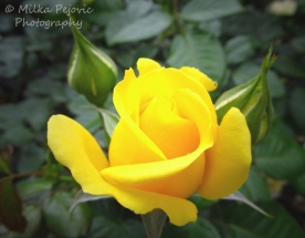 May 2015 - yellow rose