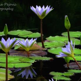 May 2015 - purple water lilies
