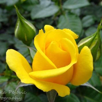 May - yellow rose