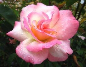 May 2015 - raindrops on pink rose petals
