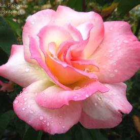 May 2015 - raindrops on pink rose petals