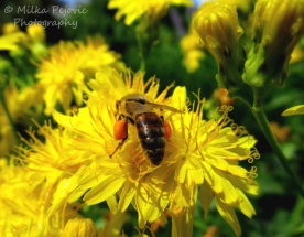 November 2015 - bee gathering pollen in leg bags on yellow flowers