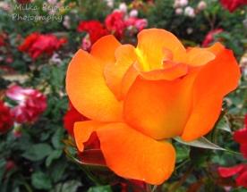 November 2015 - orange rose