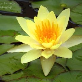 November 2015 - yellow water lily