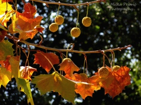 November - Sycamore tree leaves and seed pods