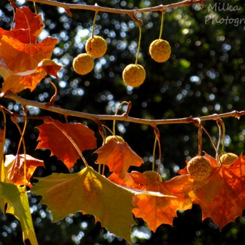 November - Sycamore