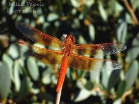 October 2015 - orange dragonfly