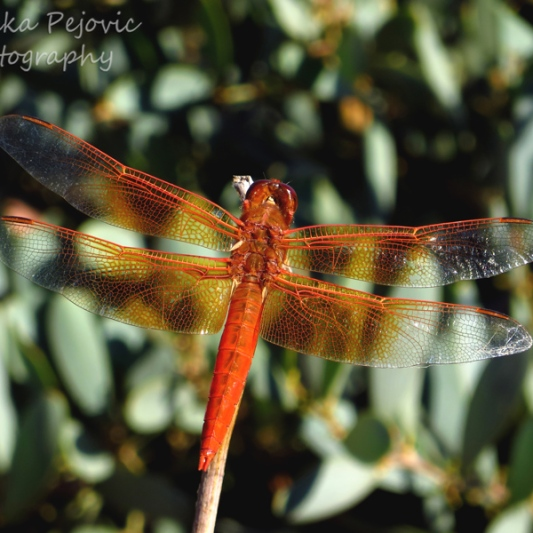 October 2015 - orange dragonfly