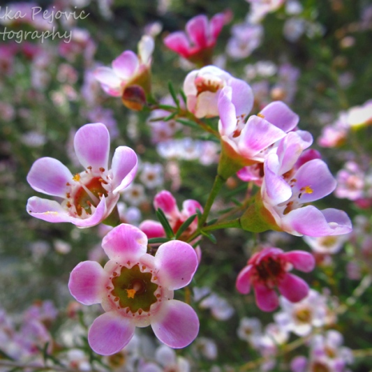 October 2015 - pink manuka blooms
