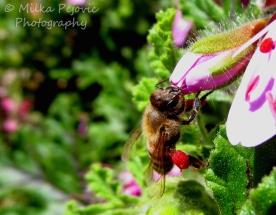 September 2015 - bee gathering pollen in leg bags on pink flower