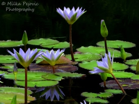 September - purple water lilies
