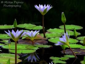 September - purple water lilies
