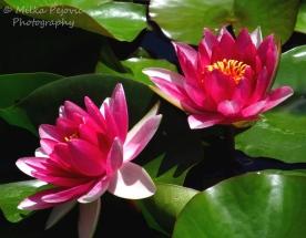 September 2015 - pink water lilies