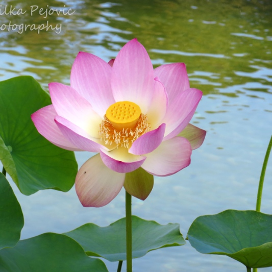 September 2015 - pink lotus flower