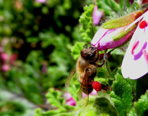 Bee with nectar bags