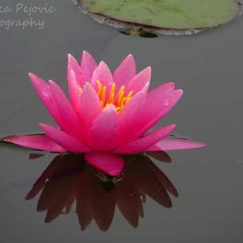 September - pink water lily 2