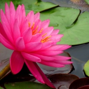 September - pink water lily 1