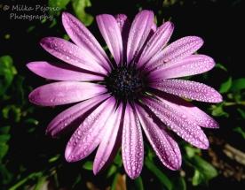 September 2015 - water droplets on purple aster flower