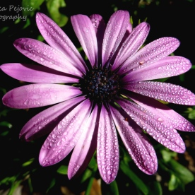 September 2015 - water droplets on purple aster flower