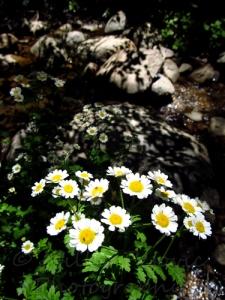 Shadows of tree leaves on rocks behind flowers