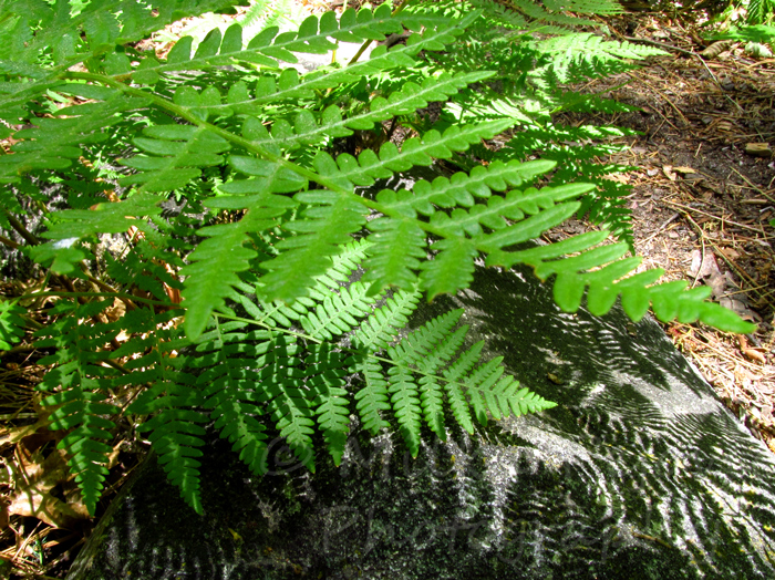 A word a week photo challenge: shadow of fern on rock