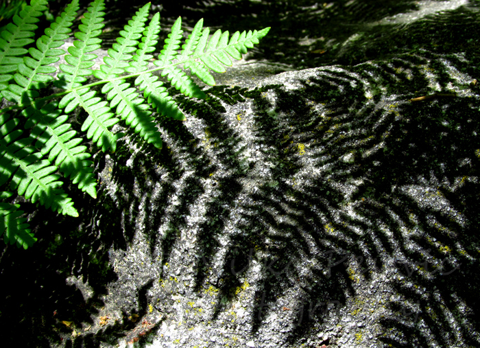 Dark shadow of fern on rock