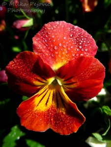 Wordpress weekly photo challenge: One red pansy